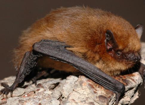 A soprano pipistrelle bat